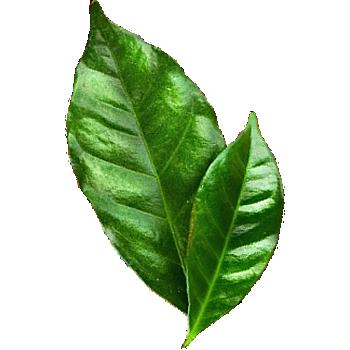 https://kafagala.com/kafa/wp-content/uploads/2020/10/kg-leaf.png